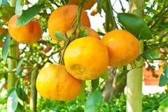 Orange trees with fruits on plantation Stock Images