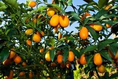 orange trees with fruits on plantation Royalty Free Stock Photo