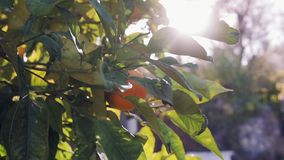 Orange trees with fruits on plantation stock video footage