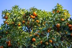 Orange trees Royalty Free Stock Photo