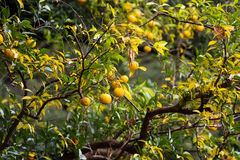 Orange trees with fruits Stock Images