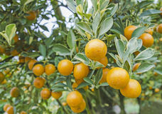 Orange trees with fruits on plantation Royalty Free Stock Photography