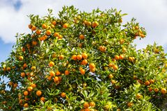 Orange trees with fruits on plantation at Mae Hong Son Province Royalty Free Stock Photography