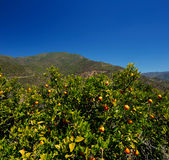Orange trees with fruits in the southern Andalusia, Spain on a clear sunny day Royalty Free Stock Images