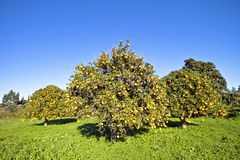 Orange trees full of oranges Stock Photography