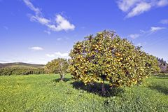 Orange trees full of oranges in Portugal Stock Photos