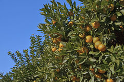 Orange trees full. Some orange trees with their branches full of oranges Stock Image