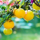 Orange trees in the garden Stock Photo