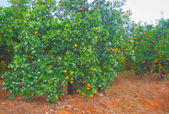 Orange trees garden full of oranges. Spain Stock Photos
