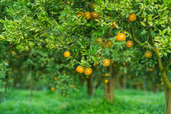 Orange trees in the garden Stock Image