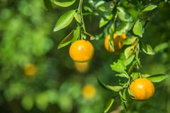Orange trees in the garden Royalty Free Stock Photography
