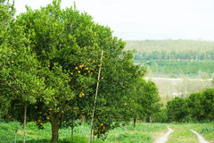 Orange trees in the garden Royalty Free Stock Images