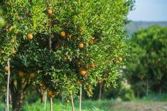 Orange trees in the garden Royalty Free Stock Photo