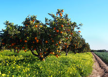 Orange trees garden with many fruits Royalty Free Stock Photography