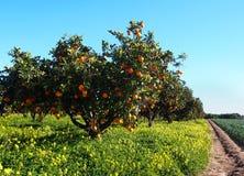 Orange trees garden with many fruits Royalty Free Stock Photography