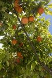 Orange trees located in Balzan Malta. Orange trees located in a beautiful area in Balzan Malta royalty free stock photography
