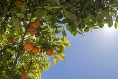 Orange trees located in Balzan Malta. Orange trees located in a beautiful area in Balzan Malta royalty free stock image