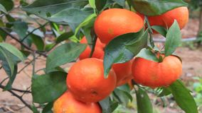 Orange trees with many fruits in the garden. The orange trees with many fruits in the garden stock video footage