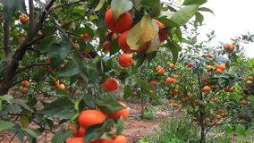 Orange trees with many fruits in the garden. The orange trees with many fruits in the garden stock video