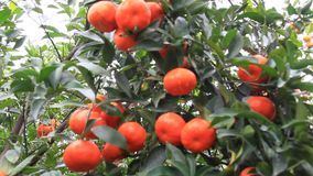 Orange trees with many fruits in the garden. The Orange trees with many fruits in the garden stock footage