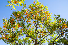 Orange Trees at Moorish castle in Malaga Spain Stock Photos
