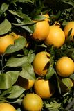 Orange trees with oranges Royalty Free Stock Photo