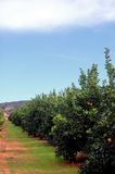 Orange trees plantation Stock Photo
