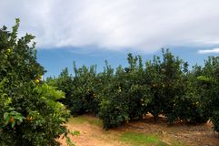 Orange trees plantation Royalty Free Stock Photo