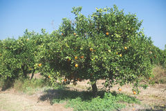 Orange trees in plantation Royalty Free Stock Photography