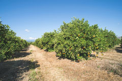 Orange trees in plantation Stock Image