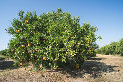 Orange trees in plantation Royalty Free Stock Images