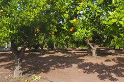 Orange trees at plantation Royalty Free Stock Image