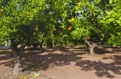 Orange trees at plantation Royalty Free Stock Image