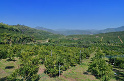 Orange trees plantation with fruits Royalty Free Stock Photo