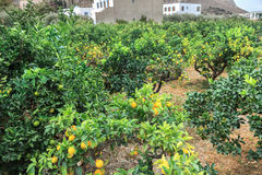 Orange trees plantation in Mediterranean village Royalty Free Stock Photography