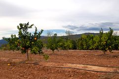 Orange trees plantation - Spain Royalty Free Stock Photo
