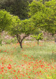 Orange trees & poppies Stock Image