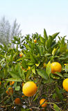 Orange trees with ripe fruit on plantation. With sky copy space Stock Photography