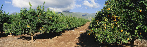 Orange trees with ripe oranges. These are orange trees with ripe oranges on them. They are part of a larger orange grove stock photography