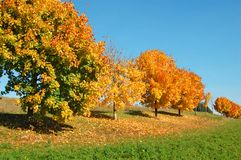 Orange Trees in a row Royalty Free Stock Photography