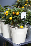 Orange trees for sale Royalty Free Stock Photo