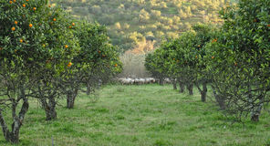 Orange trees and sheep flock Stock Images