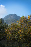 Orange trees Soller Royalty Free Stock Photography