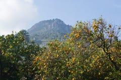 Orange trees Soller. Orange tree with fruits in Soller, Mallorca Balearic islands Spain in winter Stock Image