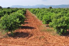 Orange trees in Spain Royalty Free Stock Photos
