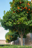Orange trees in Spanish town Royalty Free Stock Images