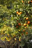 Orange trees at spring in Italy stock photo