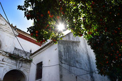 Orange trees with sunlight Stock Images