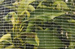 Orange Trees under netting Royalty Free Stock Photos