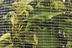 Orange Trees under netting Royalty Free Stock Photos